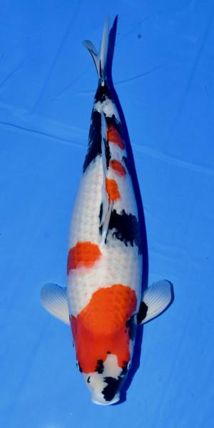 Koi Showa Sansai female 65cm weiblich