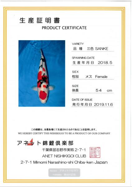 Koi Sanke Nisai female 55cm weiblich
