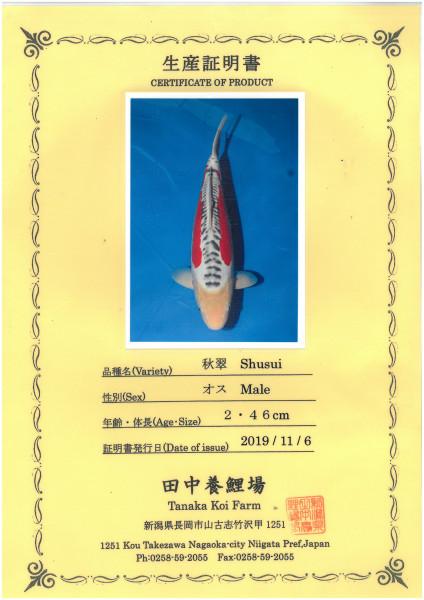 Koi Shusui Nisai male 46cm männlich